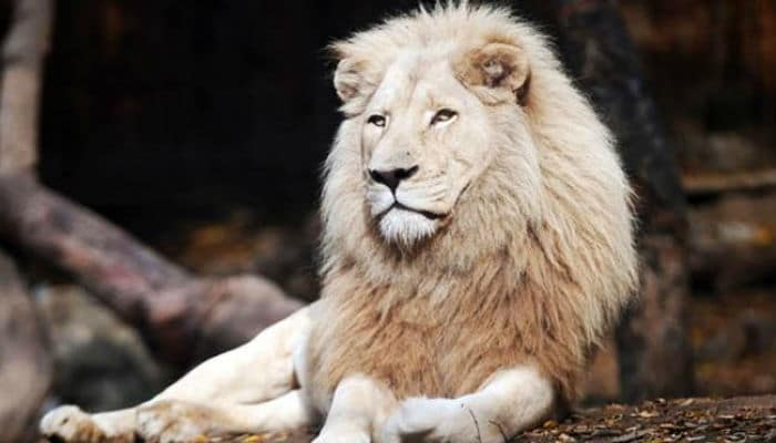 What does it mean to dream of a lion