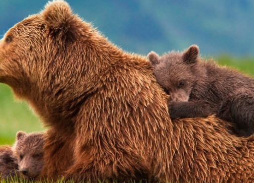 What it means to dream about bears