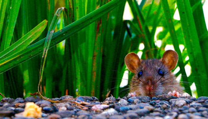 What it means to dream of rats or mice