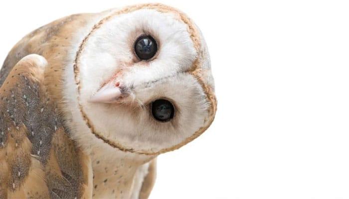 dream of owls