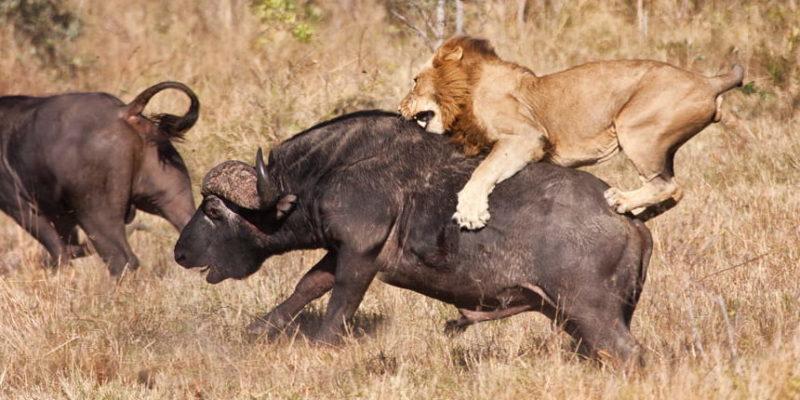 Lion skills