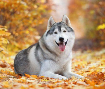Dogs: Emergence, Characteristics, Feeding and Breeds