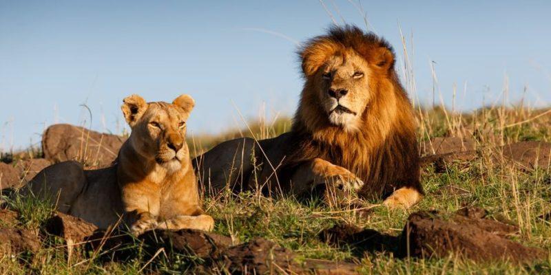 Lion: Information, Habitat, Feeding and Characteristics